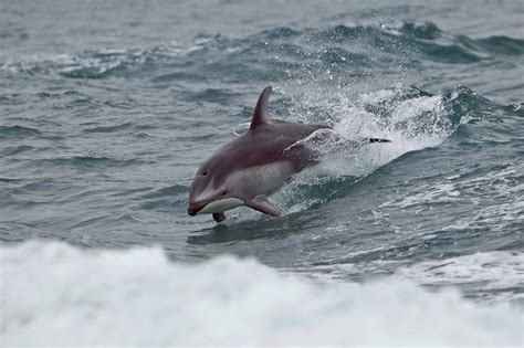 Dolphin and Porpoise - The Canadian Encyclopedia