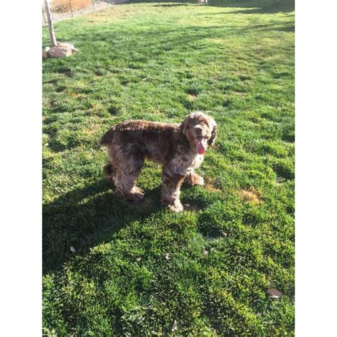 Cocker Spaniel puppies with great personalities in Fort