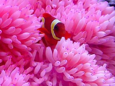 Types of Clownfish and the Anemones That Love Them   Fish
