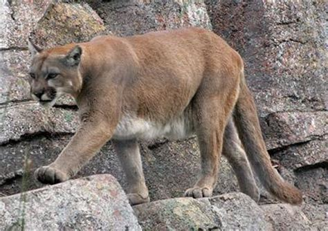 Testing confirms mountain lion sighting in Oregon County