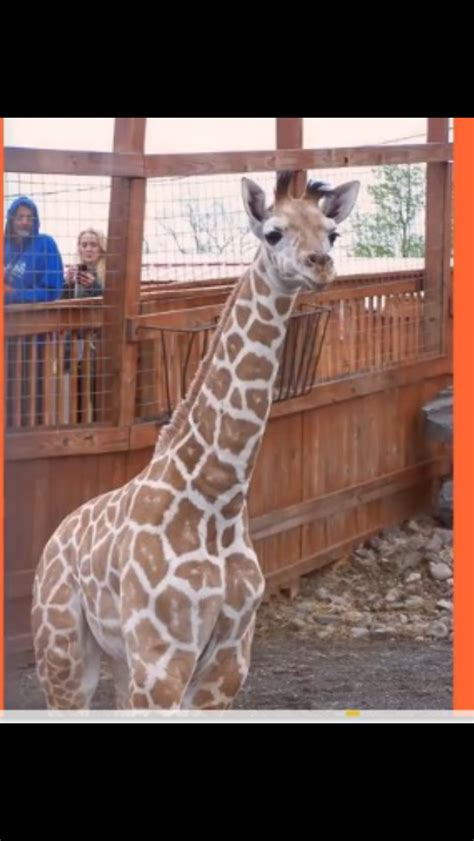 Pin by Chris Hartzell on April the Giraffe, Oliver and Taj