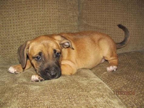 Black Mouth Cur mix puppies - 8 weeks old for Sale in