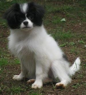 Chineranian Dog Breed Information and Pictures