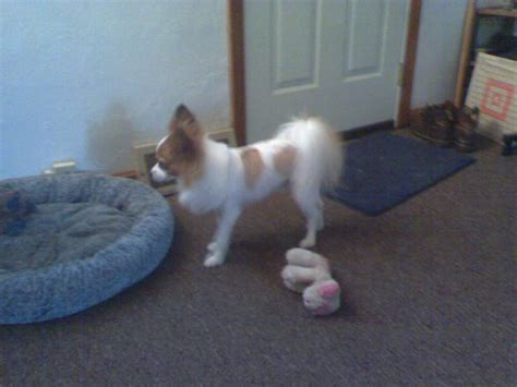 A Shaved Papillon!