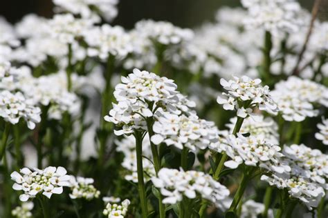 Sweet Alyssum White Flowers Picture | Free Photograph