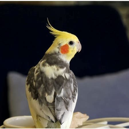 Cockatiel #184964 for sale in SHOP ONLINE OR BY PHONE , WA